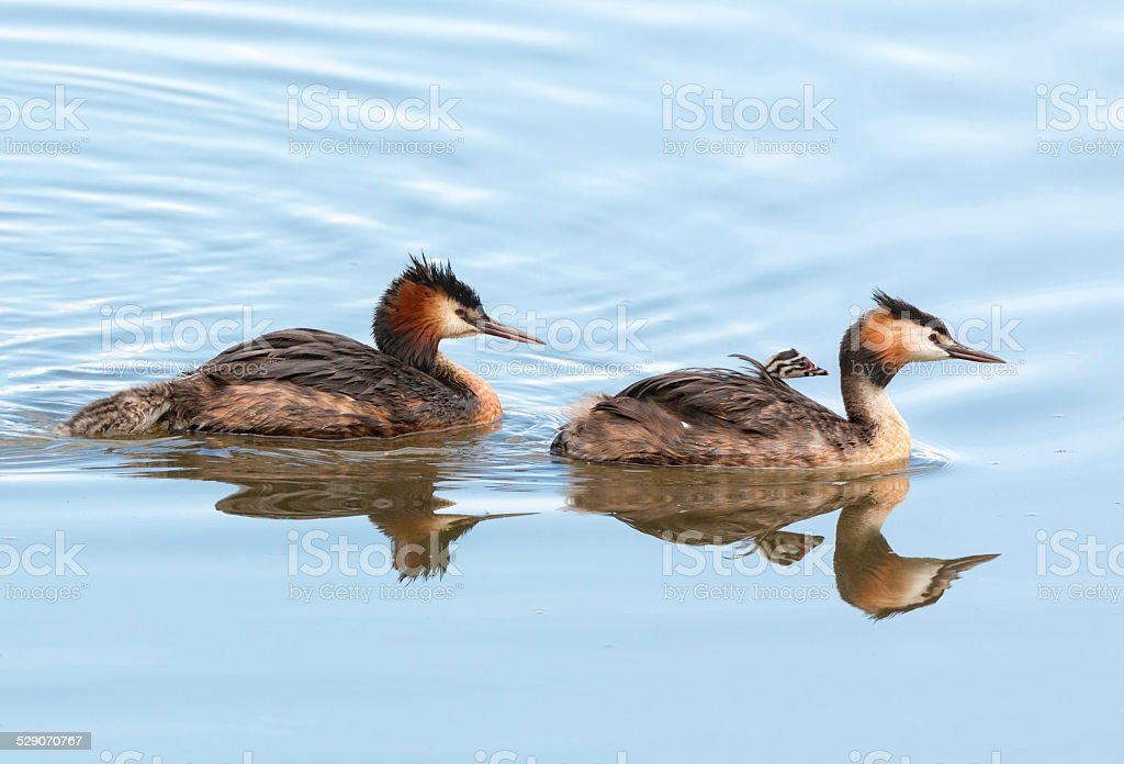 Great crested grebe family (Podiceps cristatus) with two chicks stock photo