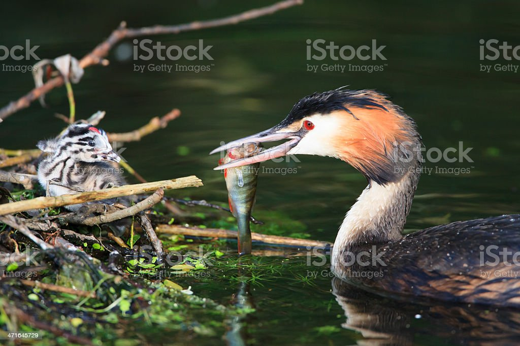 Great crested grebe feeding a baby stock photo
