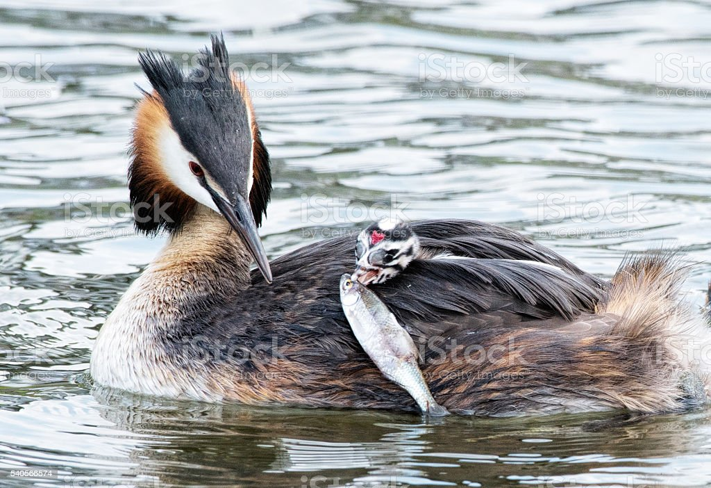 Great Crested Grebe feeding baby chicken on back with fish stock photo