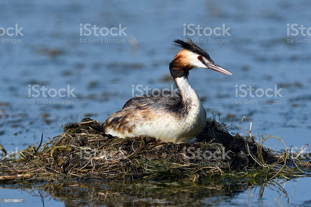 Great Crested Grebe in nest stock photo
