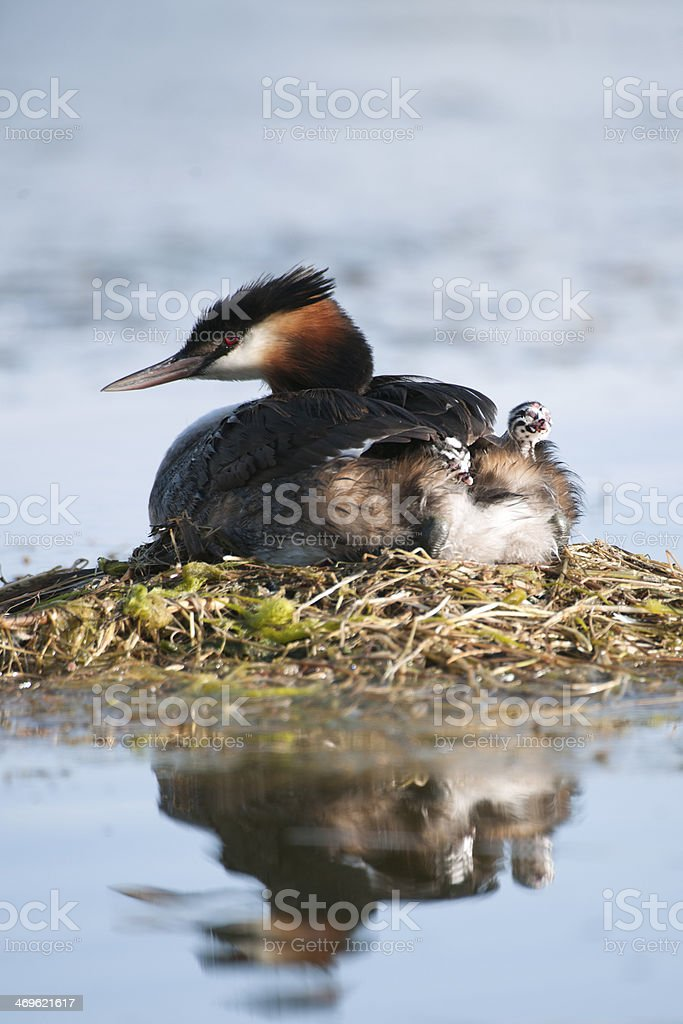 Great crested Grebe mother with chicks stock photo