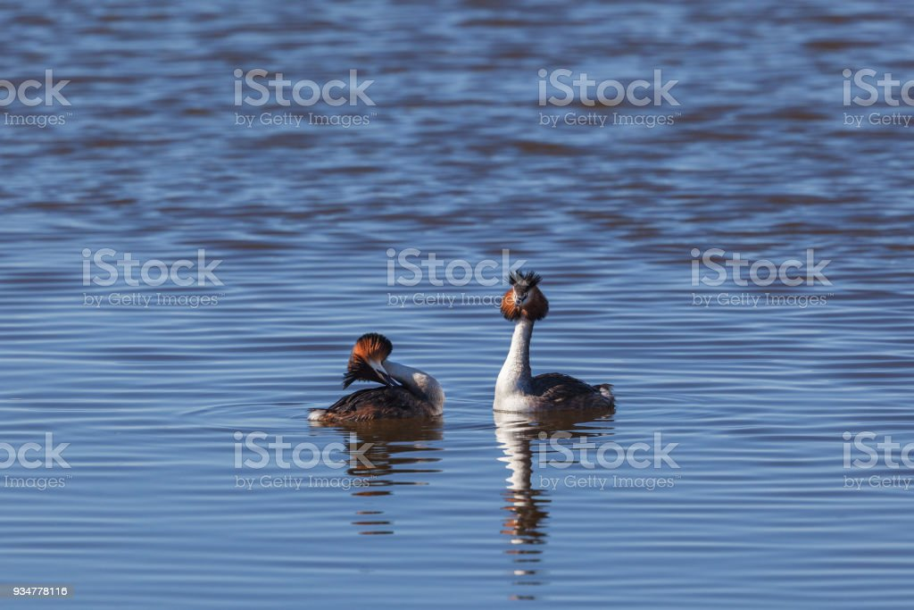 Great Crested Grebe pair stock photo