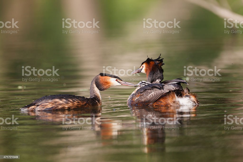 Great crested grebe parents feeding the little one. stock photo