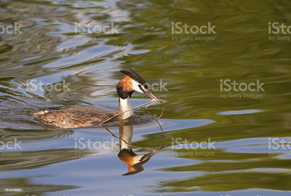Great Crested Grebe. royalty-free stock photo