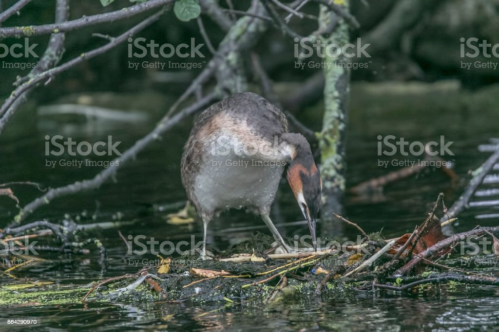 Great crested grebe royalty-free stock photo