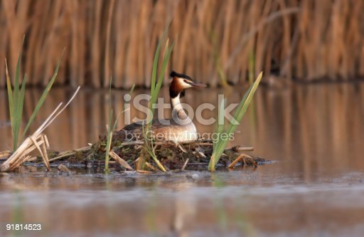 istock Great Crested Grebe (Podiceps major) 91814523