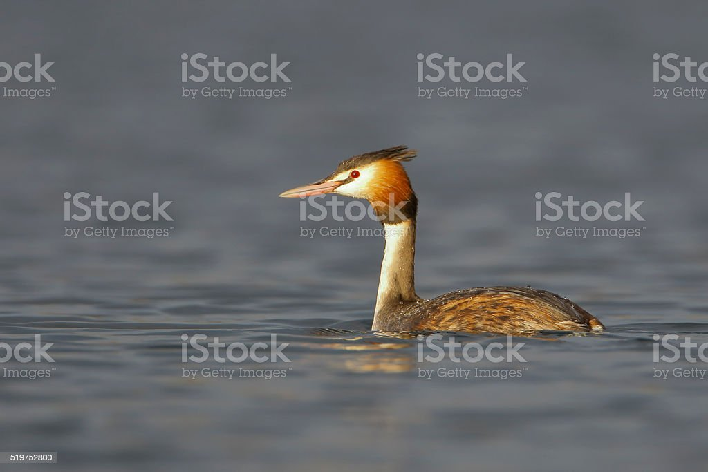 Great Crested Grebe (Podiceps cristatus) swimming in water, the Netherlands stock photo