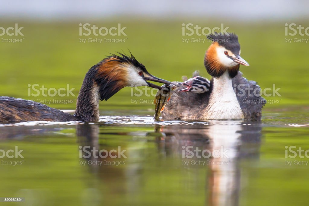 Great crested grebe swimming with chicks and feeding stock photo