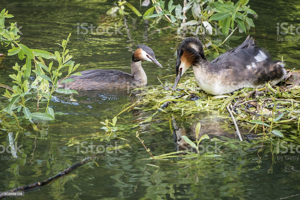 Great Crested Grebes and nest stock photo