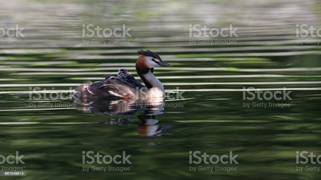 Great crested grebes with chicks stock photo