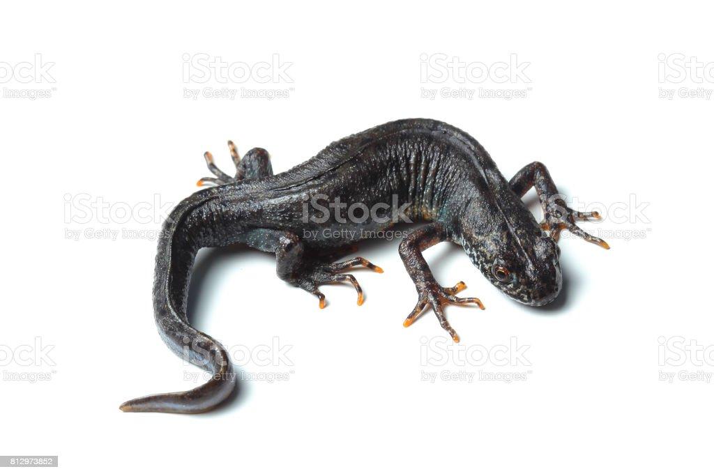Great crested newt (Triturus cristatus) isolated on white stock photo