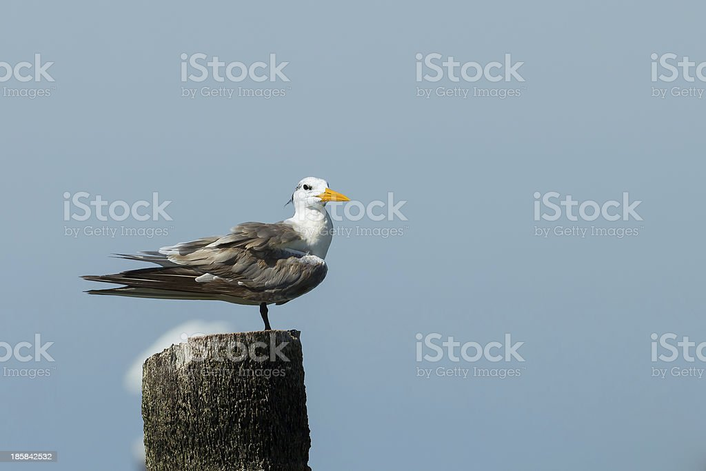 Great Crested Tern royalty-free stock photo