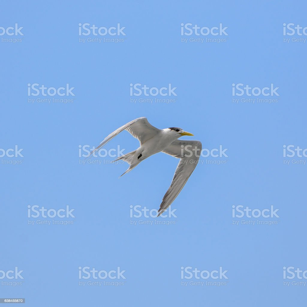 Great crested tern stock photo