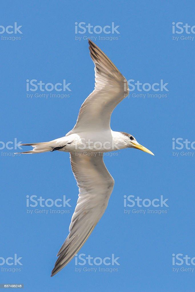 Great crested tern, sea bird stock photo