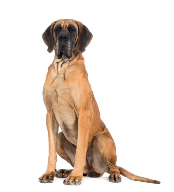 Great Dane, 10 months old, in front of white background stock photo