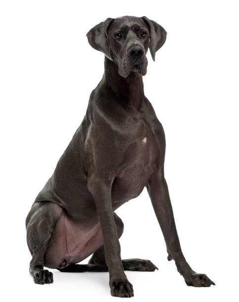 Great Dane, 15 months old, sitting in front of white background stock photo