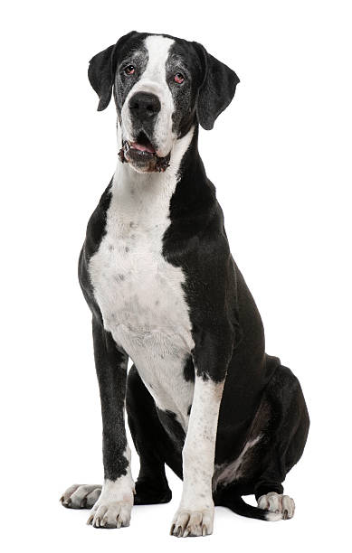 Great Dane, 7 years old, sitting stock photo