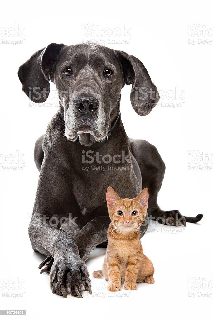 Great Dane et un petit chaton rouge - Photo