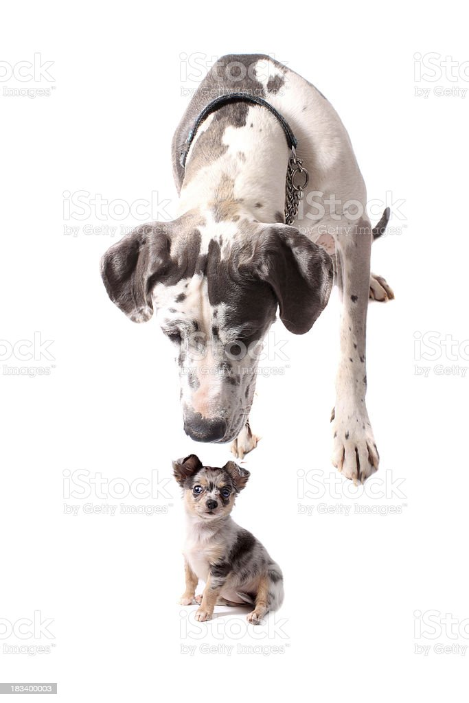 Great Dane and Chihuahua stock photo