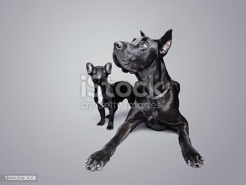 Great Dane and French Bulldog looking up over a gray background, studio shot