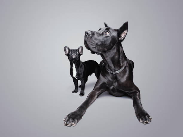 Great Dane and French Bulldog looking up over a gray background, studio shot Great Dane and French Bulldog looking up over a gray background, studio shot alongside stock pictures, royalty-free photos & images