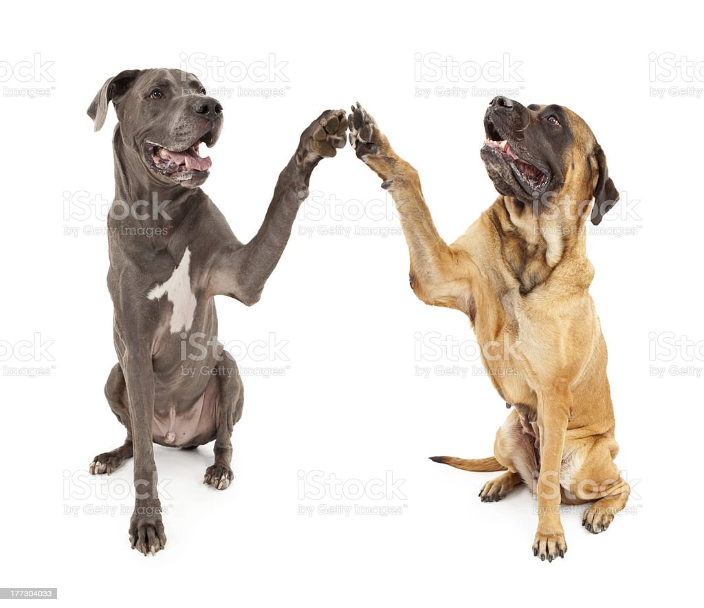 Great Dane and Mastiff Dogs Shaking Hands stock photo