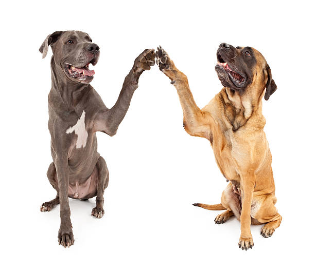 Great Dane and Mastiff Dogs Shaking Hands Great Dane and Brindle Mastiff with paws raised giving a High 5 greeting dane county stock pictures, royalty-free photos & images