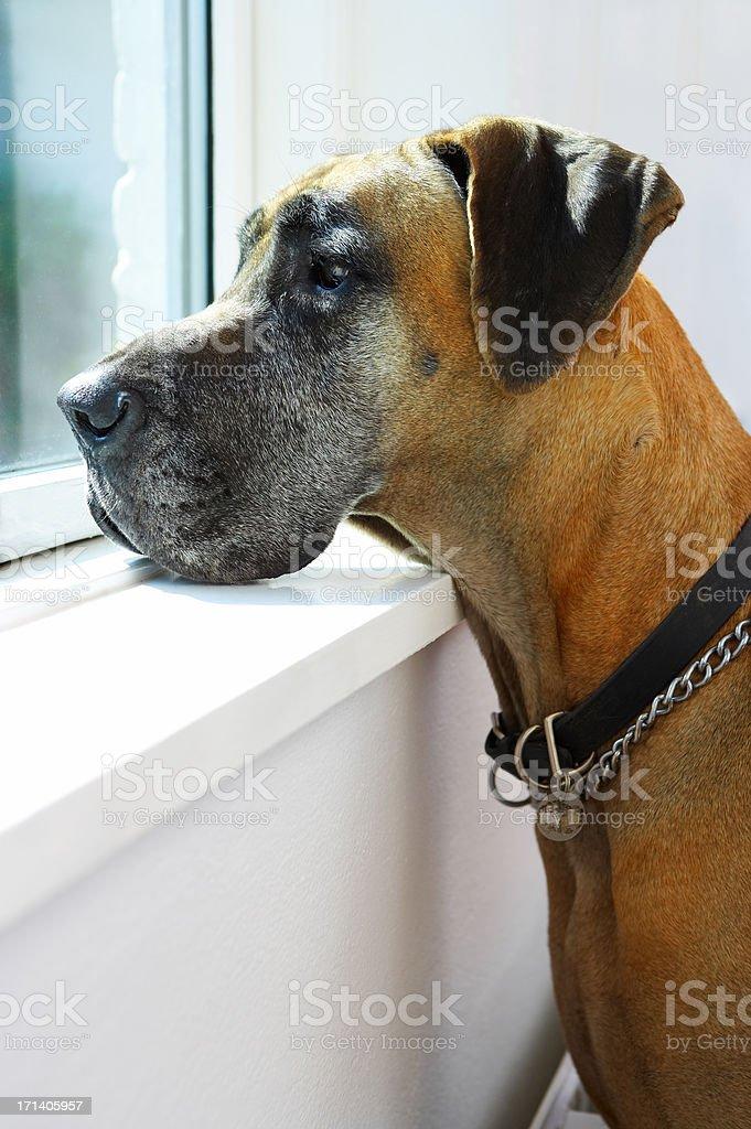 Great Dane by window royalty-free stock photo