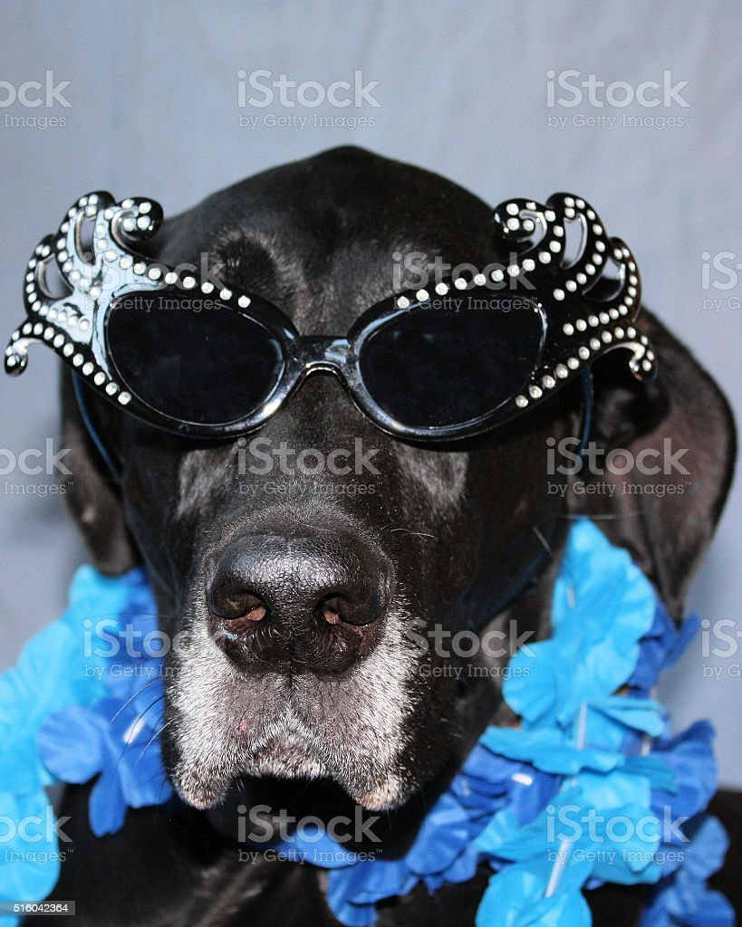 Great Dane Diva stock photo