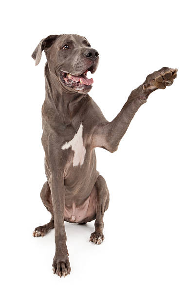 Great Dane Dog Extending Paw Great Dane dog extending his paw to shake hands. dane county stock pictures, royalty-free photos & images