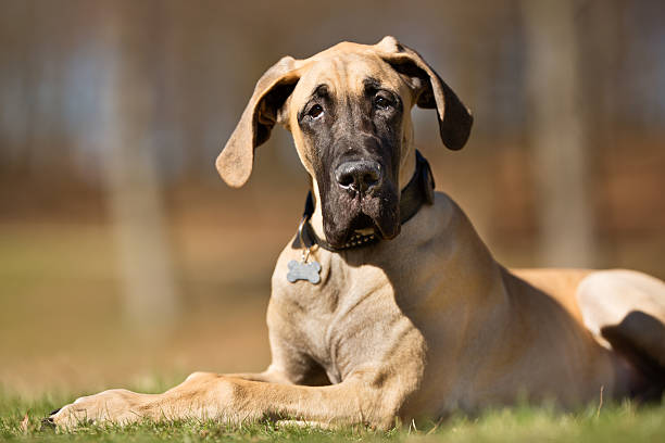 Great Dane dog outdoors in nature stock photo