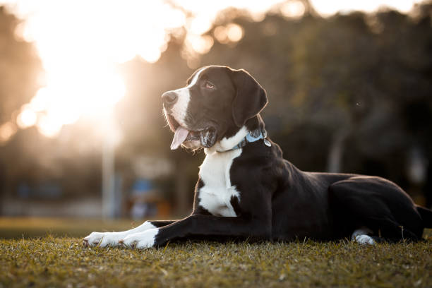 Great Dane dog portrait stock photo