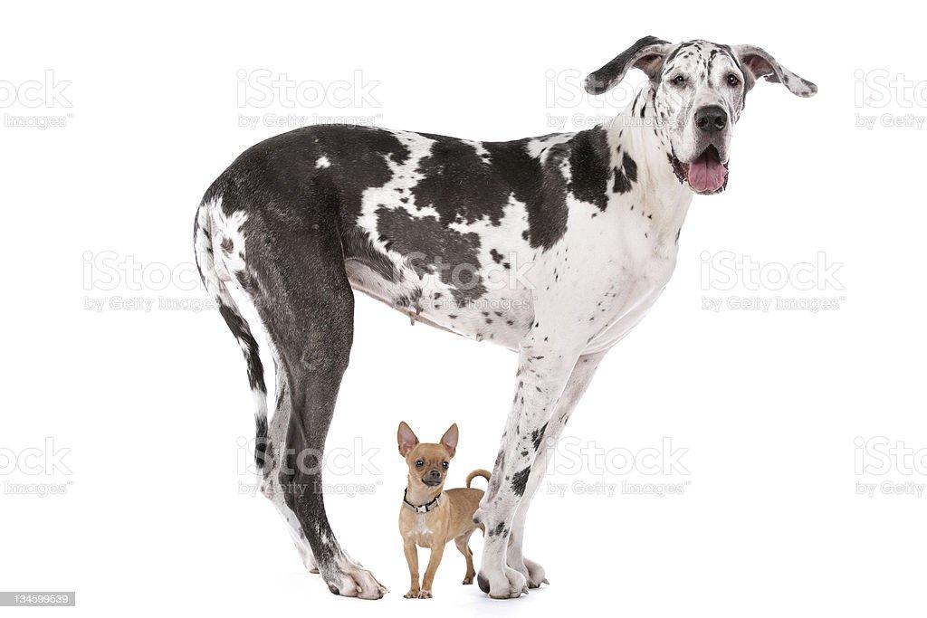 Great Dane HARLEQUIN and a chihuahua - 免版稅一起圖庫照片
