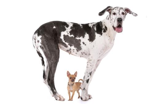 Great Dane Harlequin And A Chihuahua 照片檔及更多 一起 照片