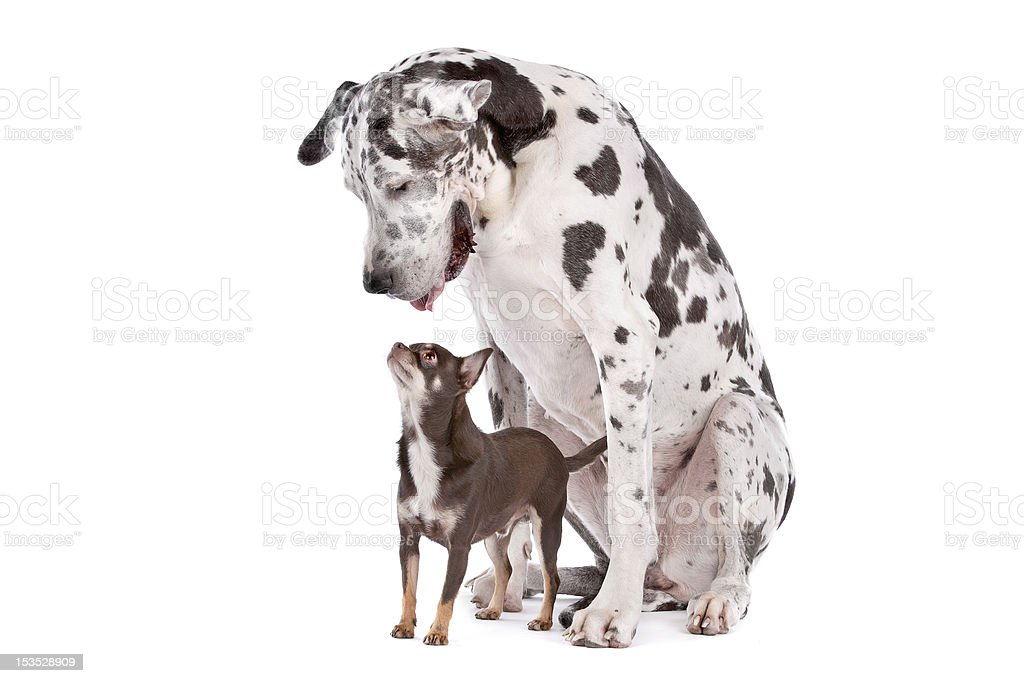 Great Dane HARLEQUIN and a chihuahua stock photo