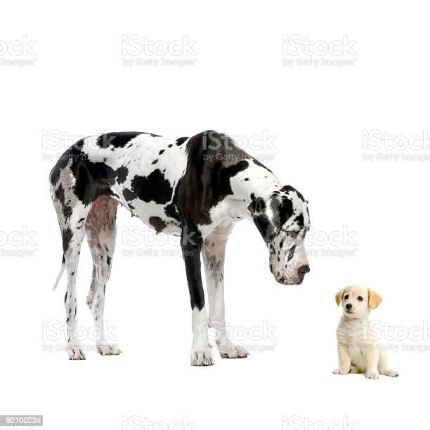 Great dane harlequin looking down at yellow labrador retriever puppy picture id92100234?b=1&k=6&m=92100234&s=612x612&h=p4odb7n gmxa7we 6ktdvgw3v9 75tkif cyndmwftm=