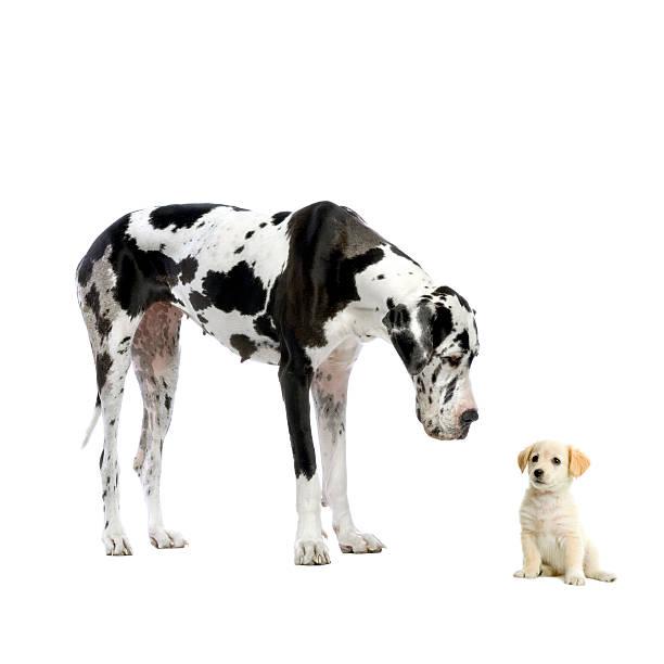 Great dane harlequin looking down at yellow labrador retriever puppy picture id92100234?b=1&k=6&m=92100234&s=612x612&w=0&h=mgocqagze9c5 e xpu8ly67crmeiytlzli1otzp9q 4=