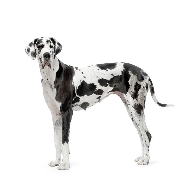 Great Dane HARLEQUIN  dane county stock pictures, royalty-free photos & images