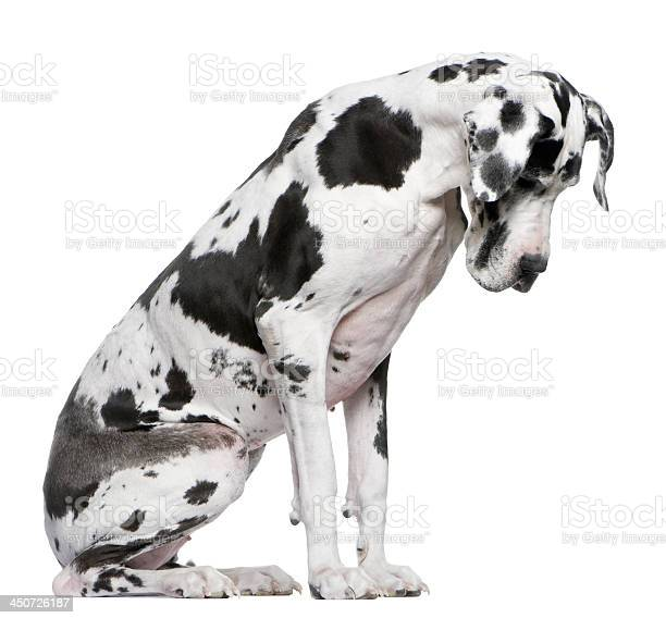 Great dane harlequin sitting in front of white background picture id450726187?b=1&k=6&m=450726187&s=612x612&h=7yl9n1lqhnshhzdw3wpg8kblybvqi  32kgwf69wpic=