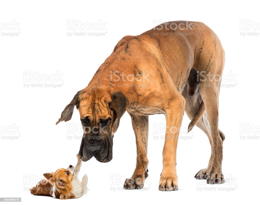 Great dane looking at a Chihuahua stock photo