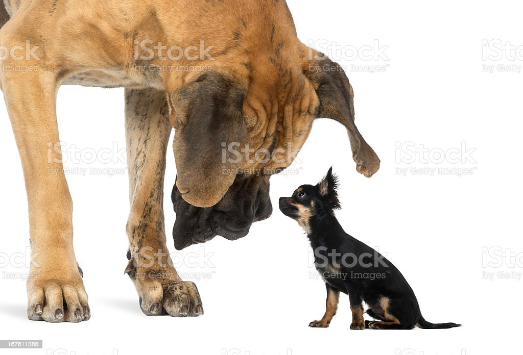 Great Dane looking at a Chihuahua sitting, isolated on white stock photo