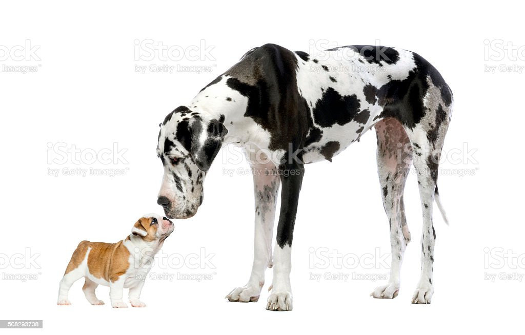 Great Dane looking at a French Bulldog puppy
