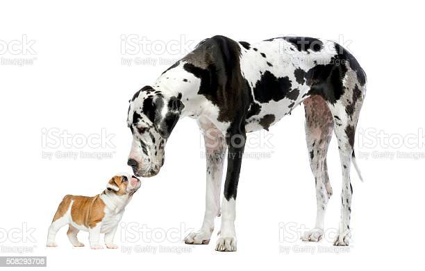 Great dane looking at a french bulldog puppy picture id508293708?b=1&k=6&m=508293708&s=612x612&h=wa0 hhbes h chmzkisgefglkpkeyu8xbe jjp2 fjo=