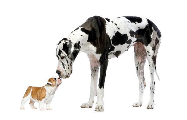 굉장해요 dane 바라보고 있는 프렌치 불독 강아지 - 작은 뉴스 사진 이미지