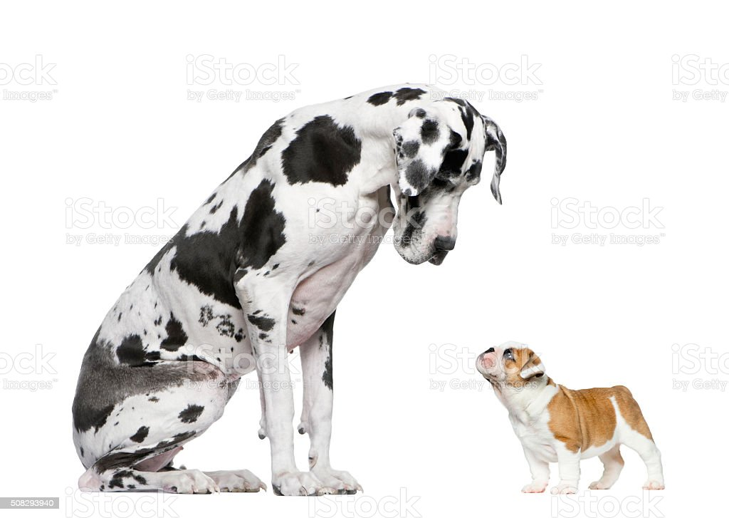 Great Dane looking at a French Bulldog puppy stock photo