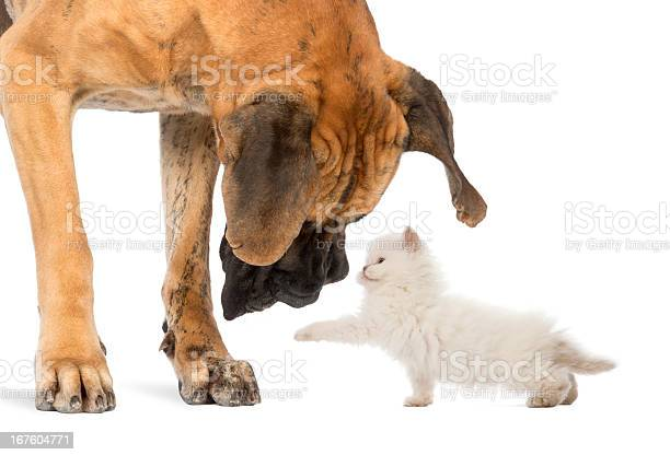 Great dane looking at a kitten isolated on white picture id167604771?b=1&k=6&m=167604771&s=612x612&h=rpv oosjhfl6gqz rv441omxvnftjqc 8aur01fylfs=