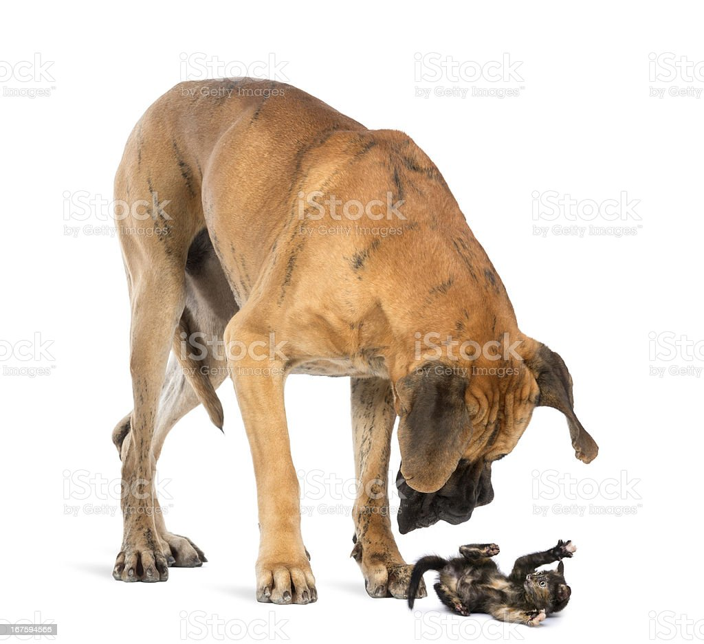 Great Dane looking at a kitten lying on its back stock photo