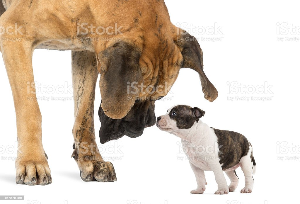 Great Dane looking at an American Staffordshire puppy stock photo