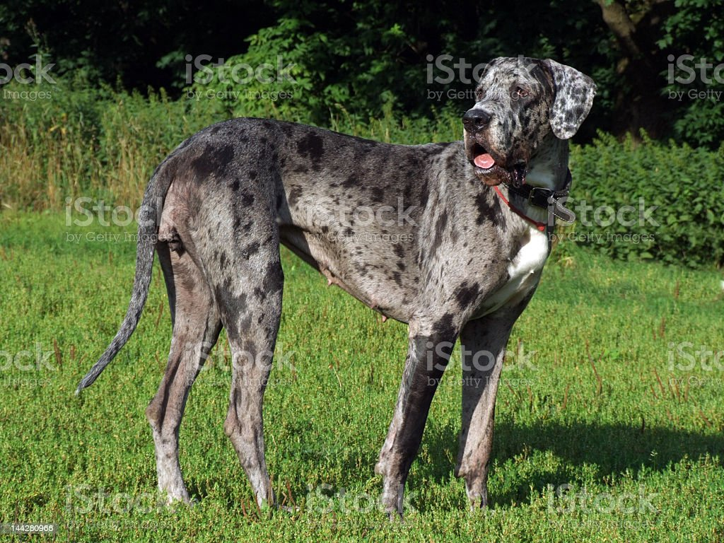 great dane looking back stock photo