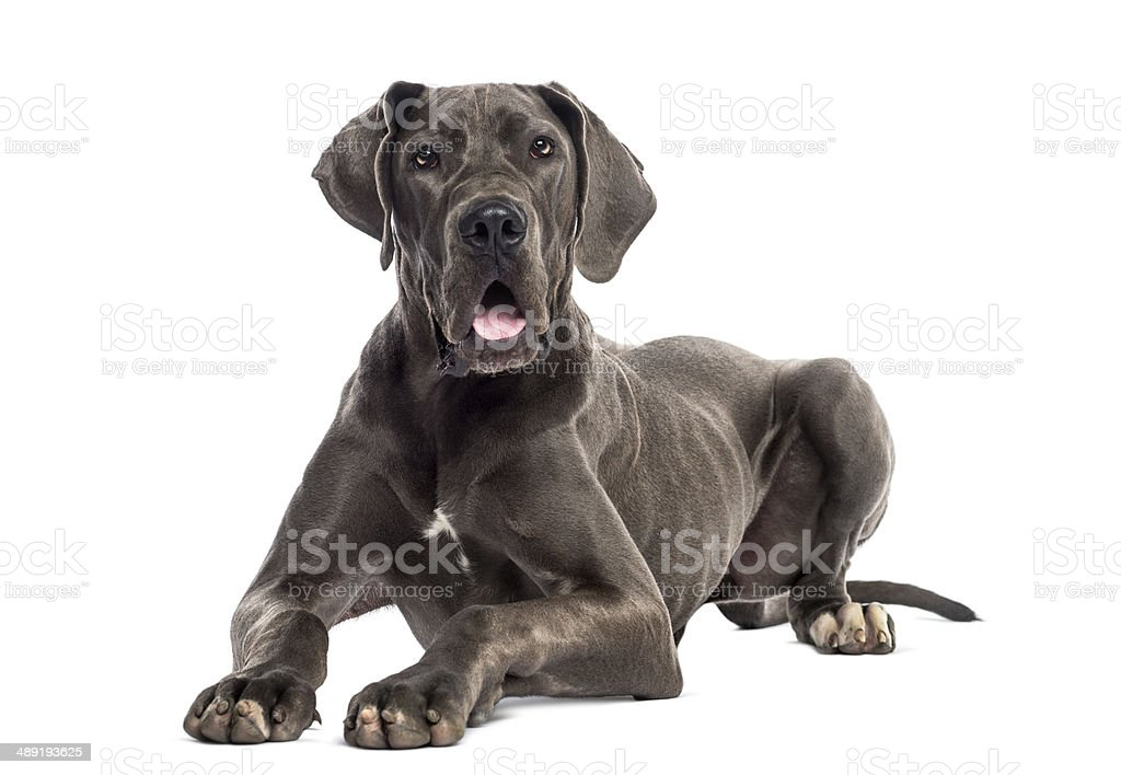 Great Dane lying down (8 months old) stock photo